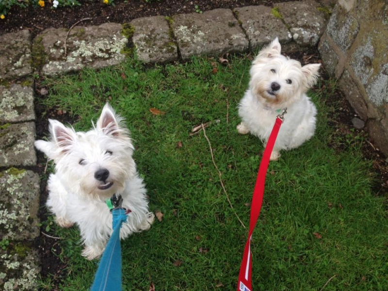 Image result for Westies dog, walking